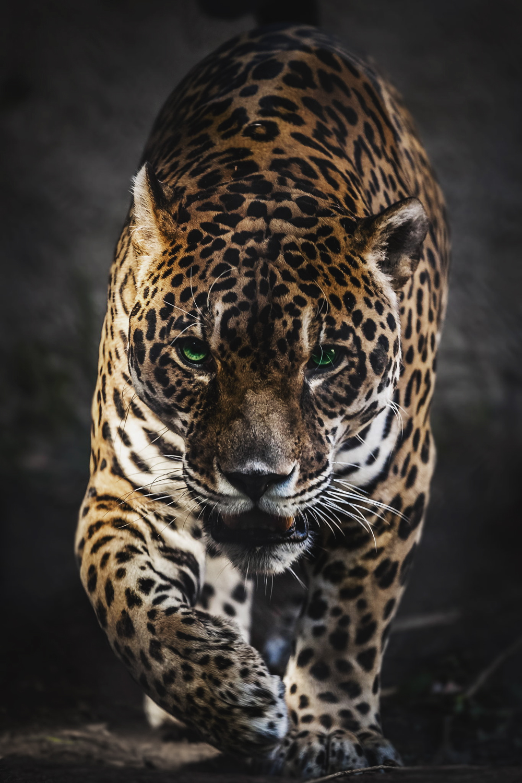 envyavenue :      Walk of the Jaguar by Stephen Moehle.