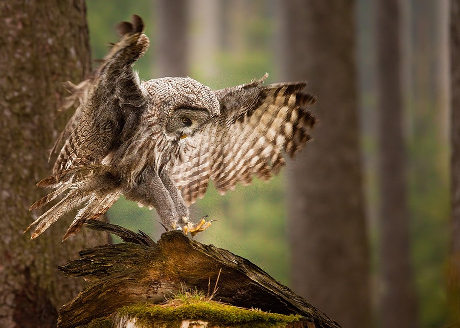 noticiero :   Great Grey Owl by RobertAdamec