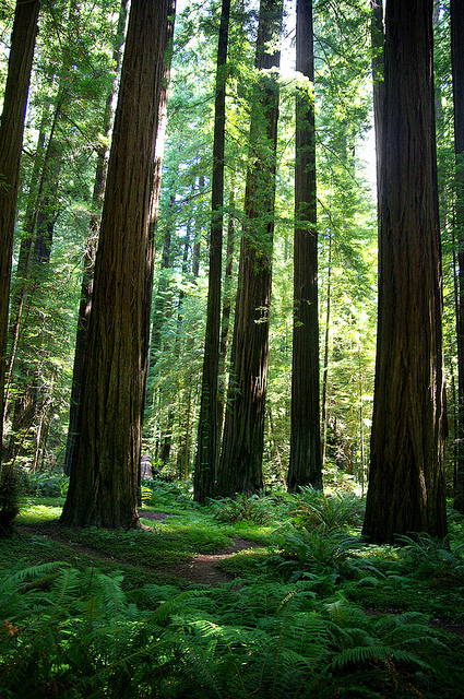 brutalgeneration :      Redwood Grove  by  Lissa**  on Flickr.