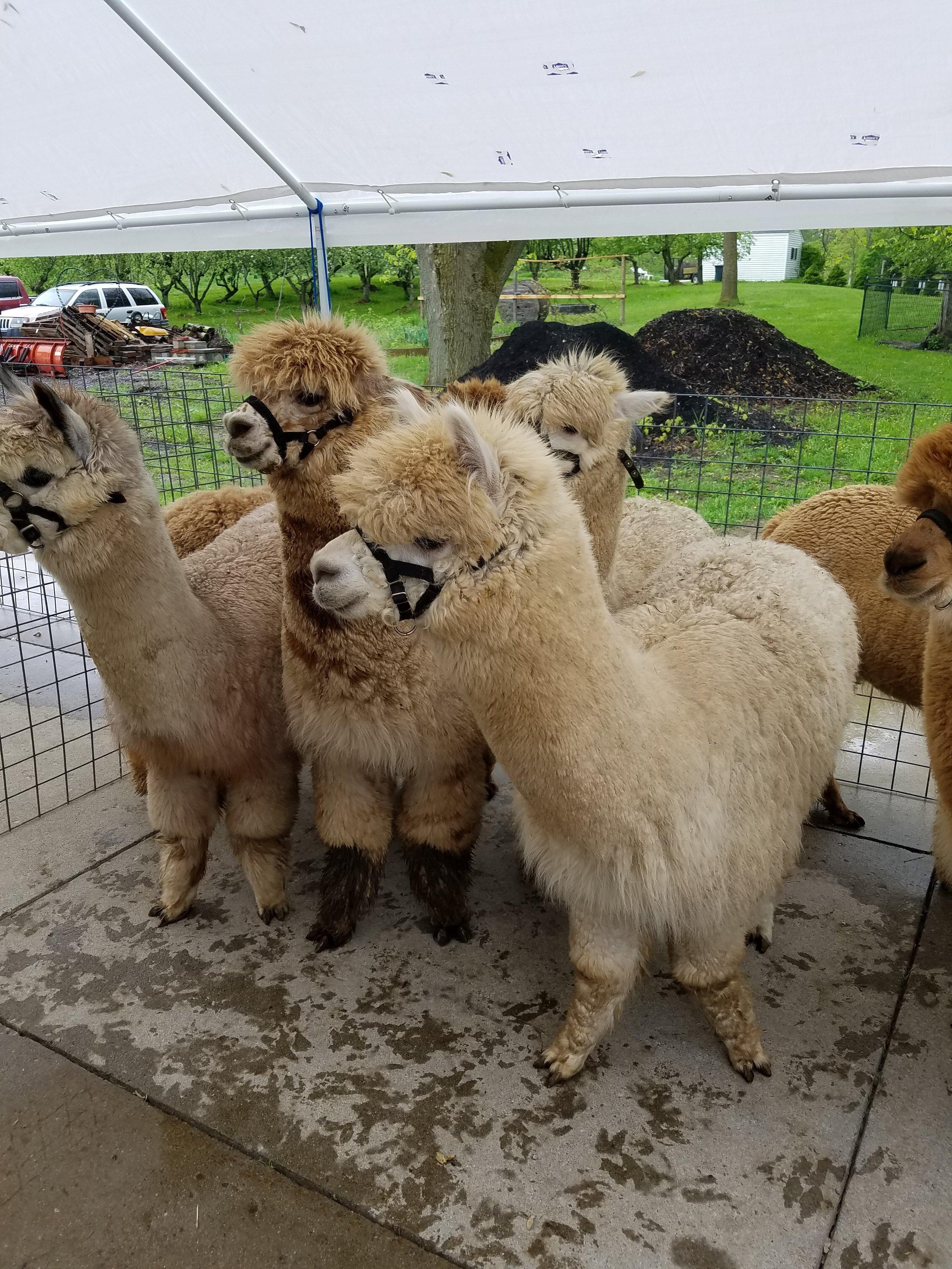 White alpacas waiting for their haircut!