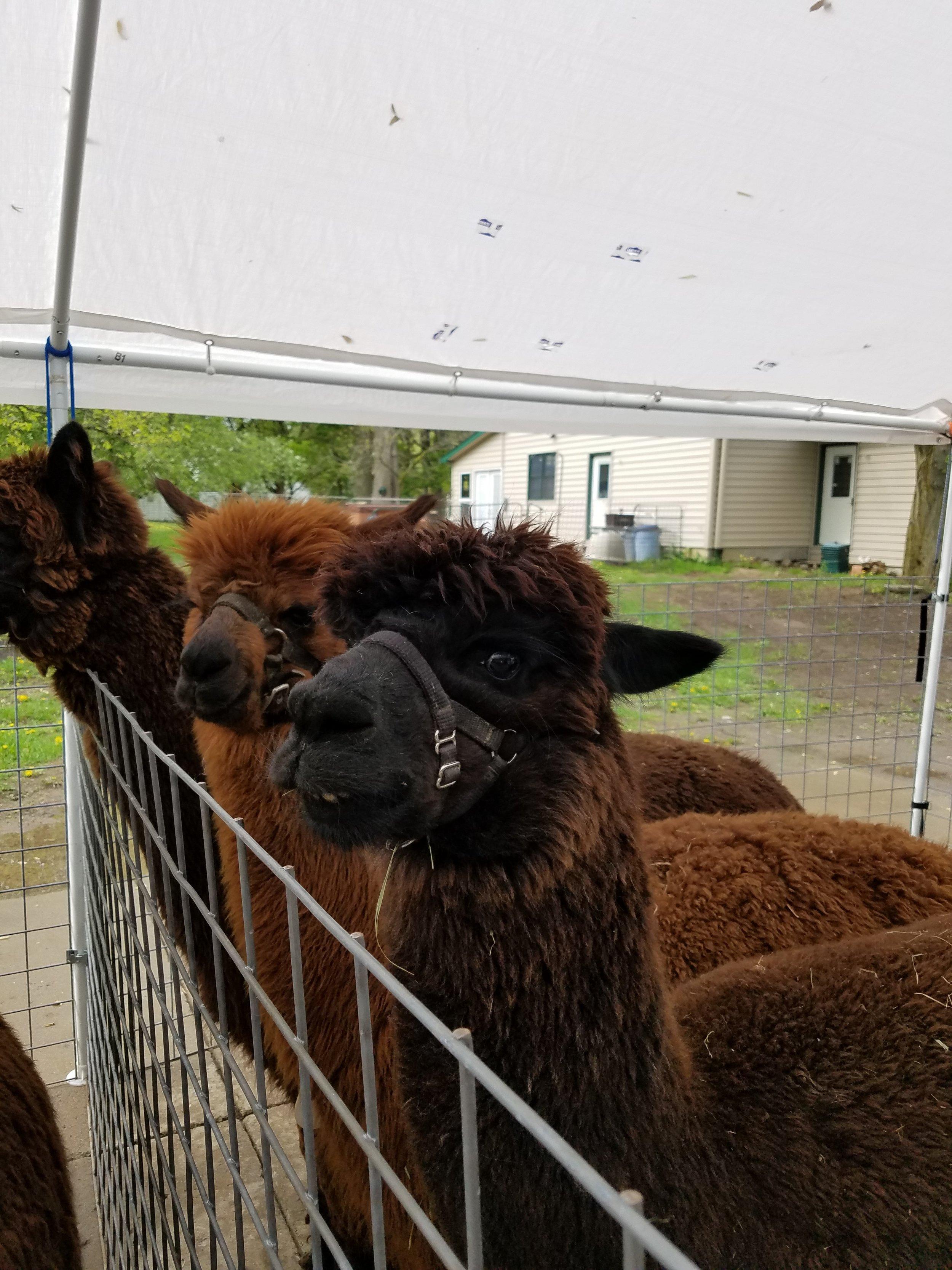 Brown alpacas watching us shear!