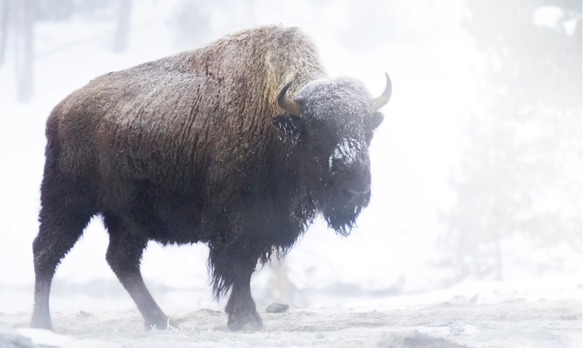 No bull. It's a buffalo.