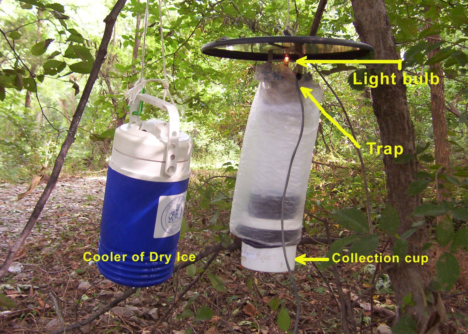 CO2 traps that are currently used attract female mosquitoes when they are searching for a blood meal. Dry ice is CO2 in solid form as it warms up it turns directly into a gas and leaks out of the cooler. This attracts the mosquitoes that are looking for the breath of an animal. Once they come in close they see the light and are attracted towards in (we call this positive phototaxis). A fan then sucks the mosquito into the collection cup where it is unable to escape. My trap would work in a similar method except I would be using the chemicals found in their favorite plants instead of CO2.