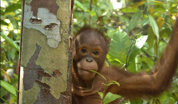 A baby orangutan we filmed on location in Borneo with Dr. Willie Smits