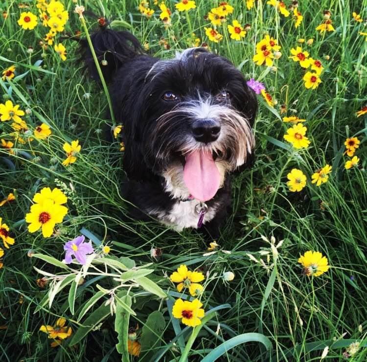 Therapy Dog: Manie