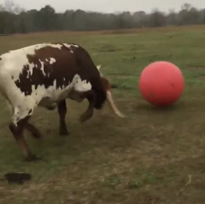 Bulls Just Wanna Have Fun - Your daily dose of cuteness