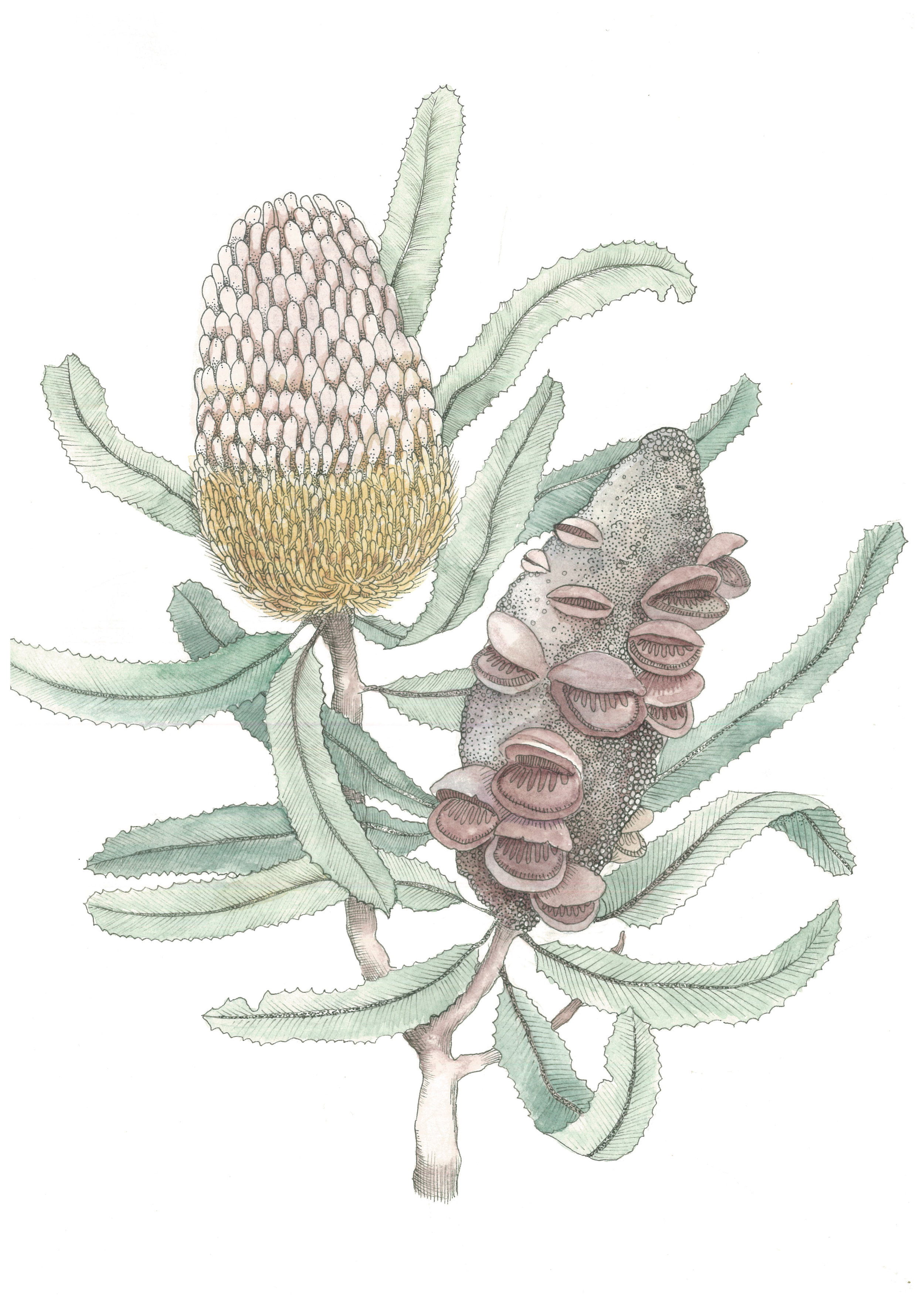 Banksia 2017 Watercolour and Ink on 100% cotton paper