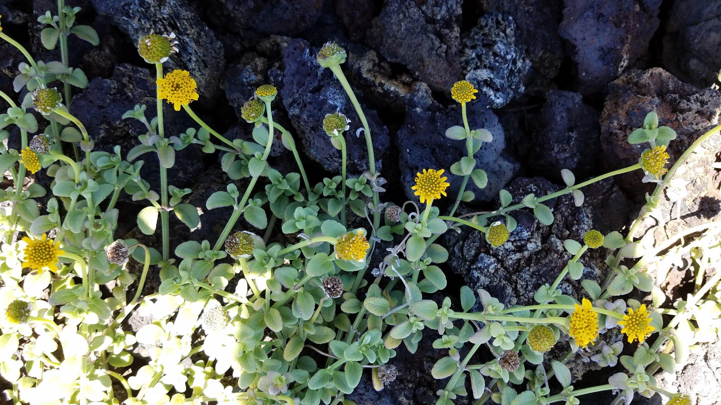 Melanthera integrifolia