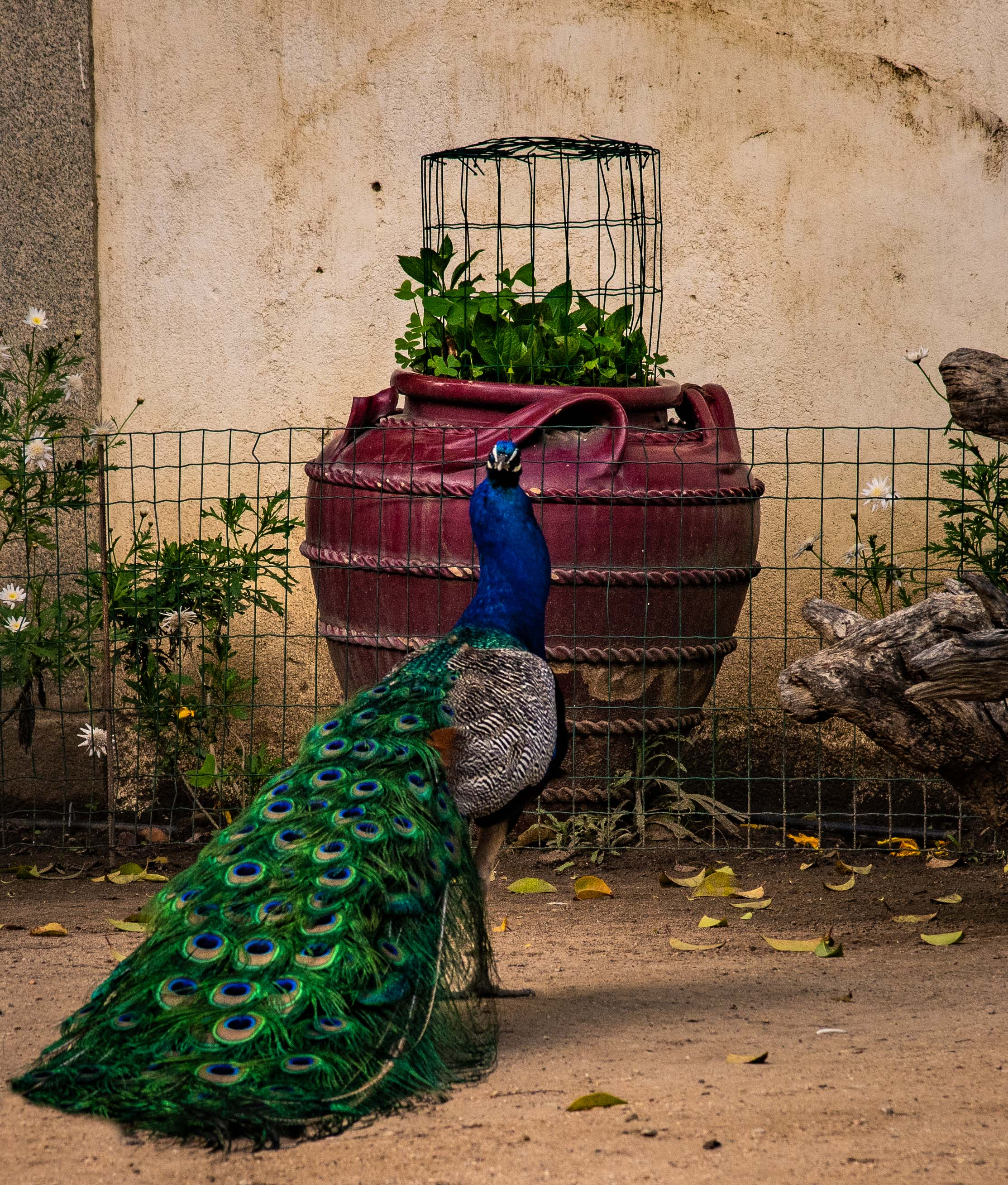 Peacock. Evora, Portugal 2018.