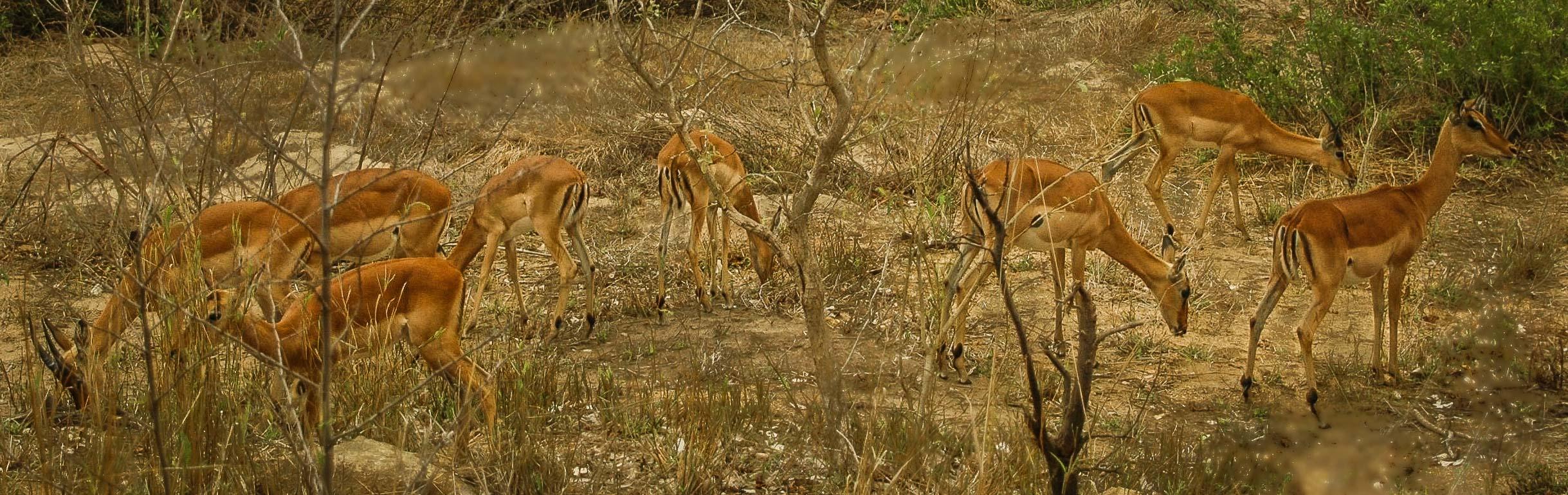 Impalas, Kruger National Park,, South Africa 2005