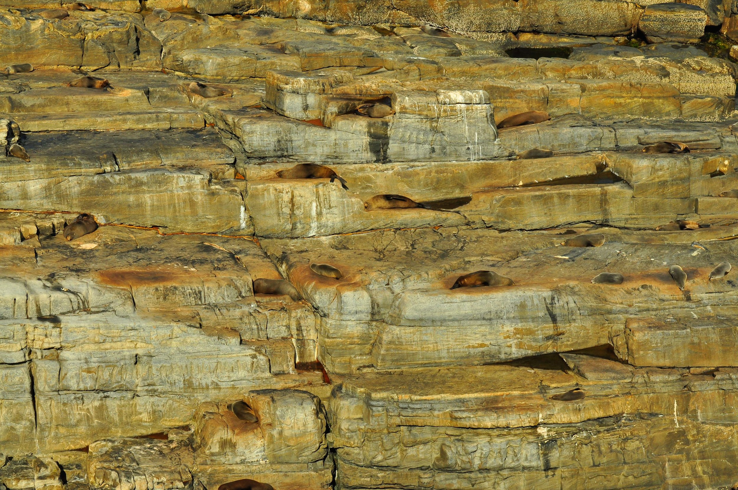 Napping Seals,. Flinders Chase National Park, Kangaroo Island, A