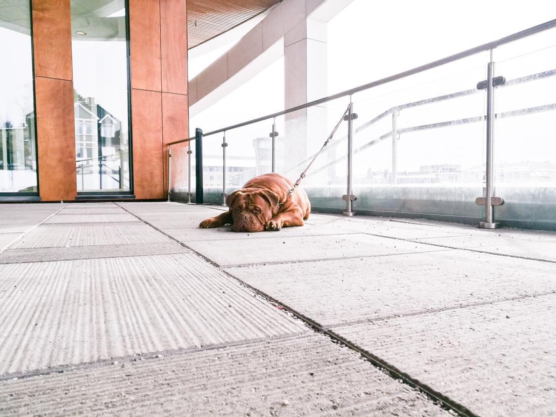 Jeg elsker å fotografere hunder som venter