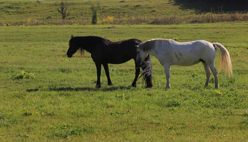 Ilse & Lorana  Ilse, the black pearl of Cross Country Farm, suitable for medium riders.