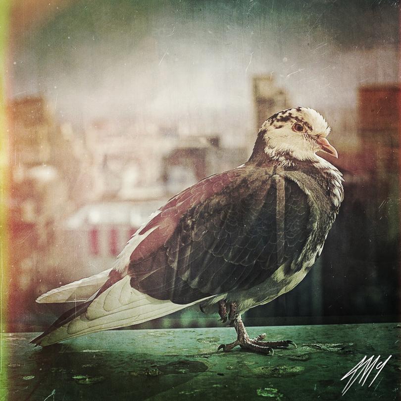 The-enduring-symbolism-of-pigeons_Alastair-Mclachlan.jpg