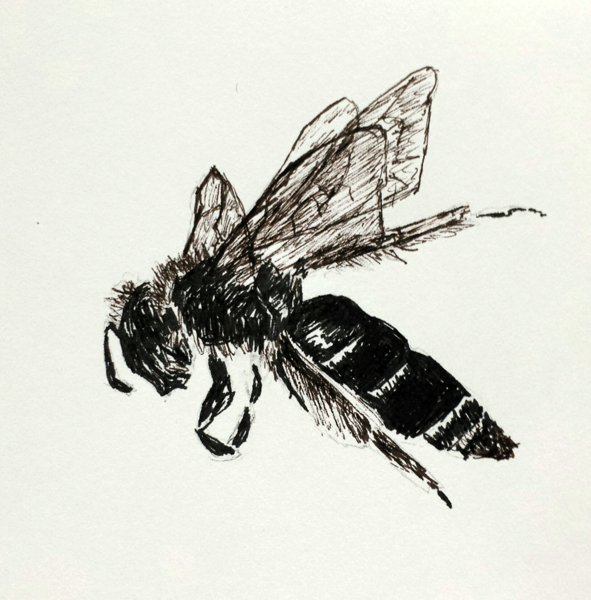 Wasp, pen and ink, 2016
