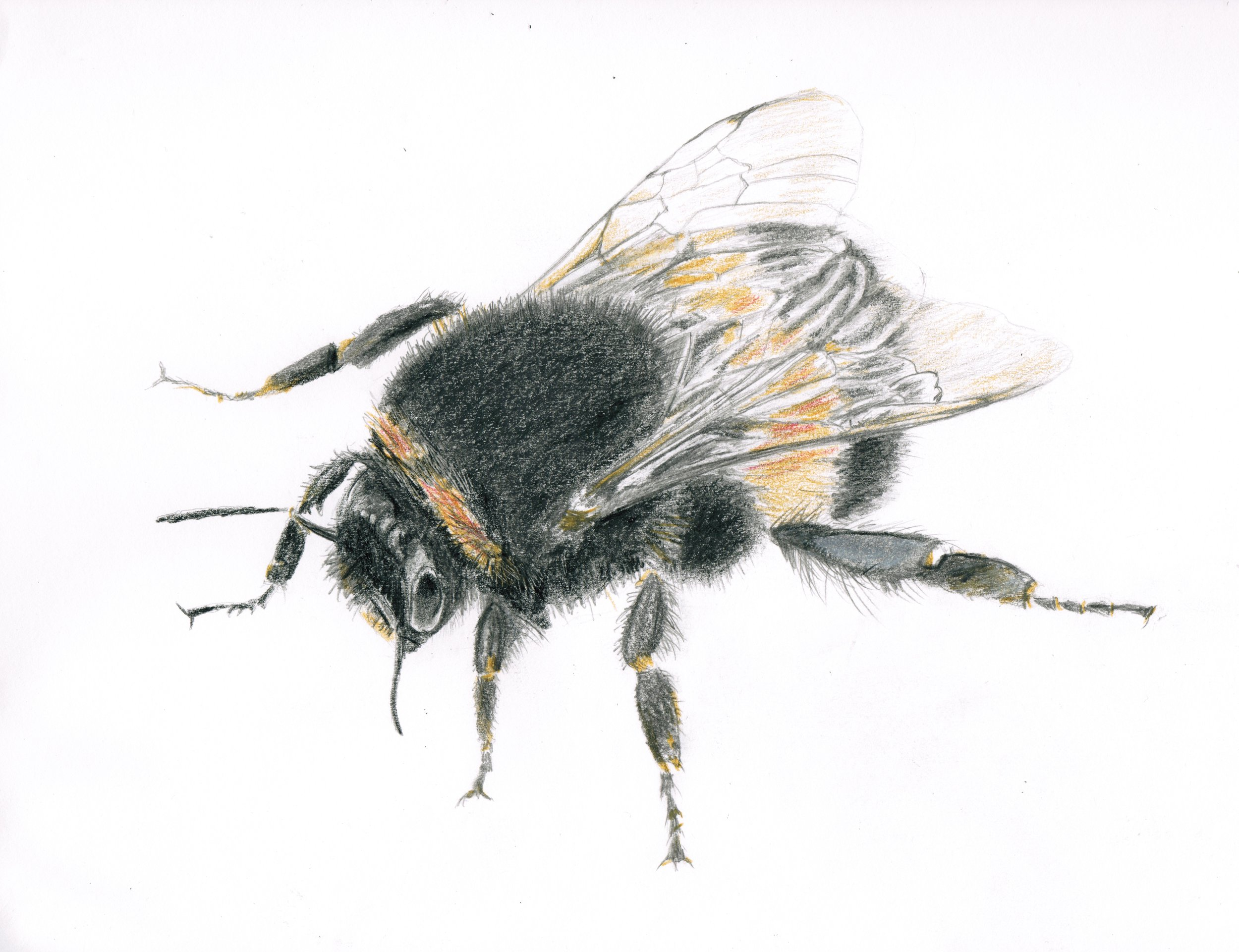 Honeybee, graphite and colored pencil, 2016