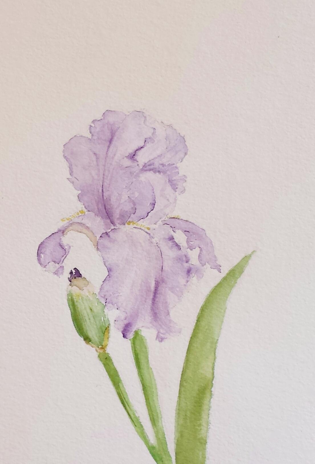 Iris, 2016, watercolor.