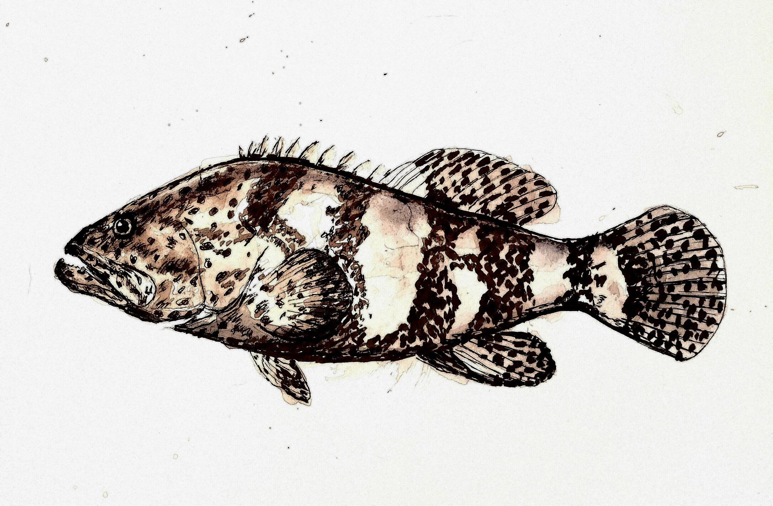 Grouper, pen and black walnut ink, 2017