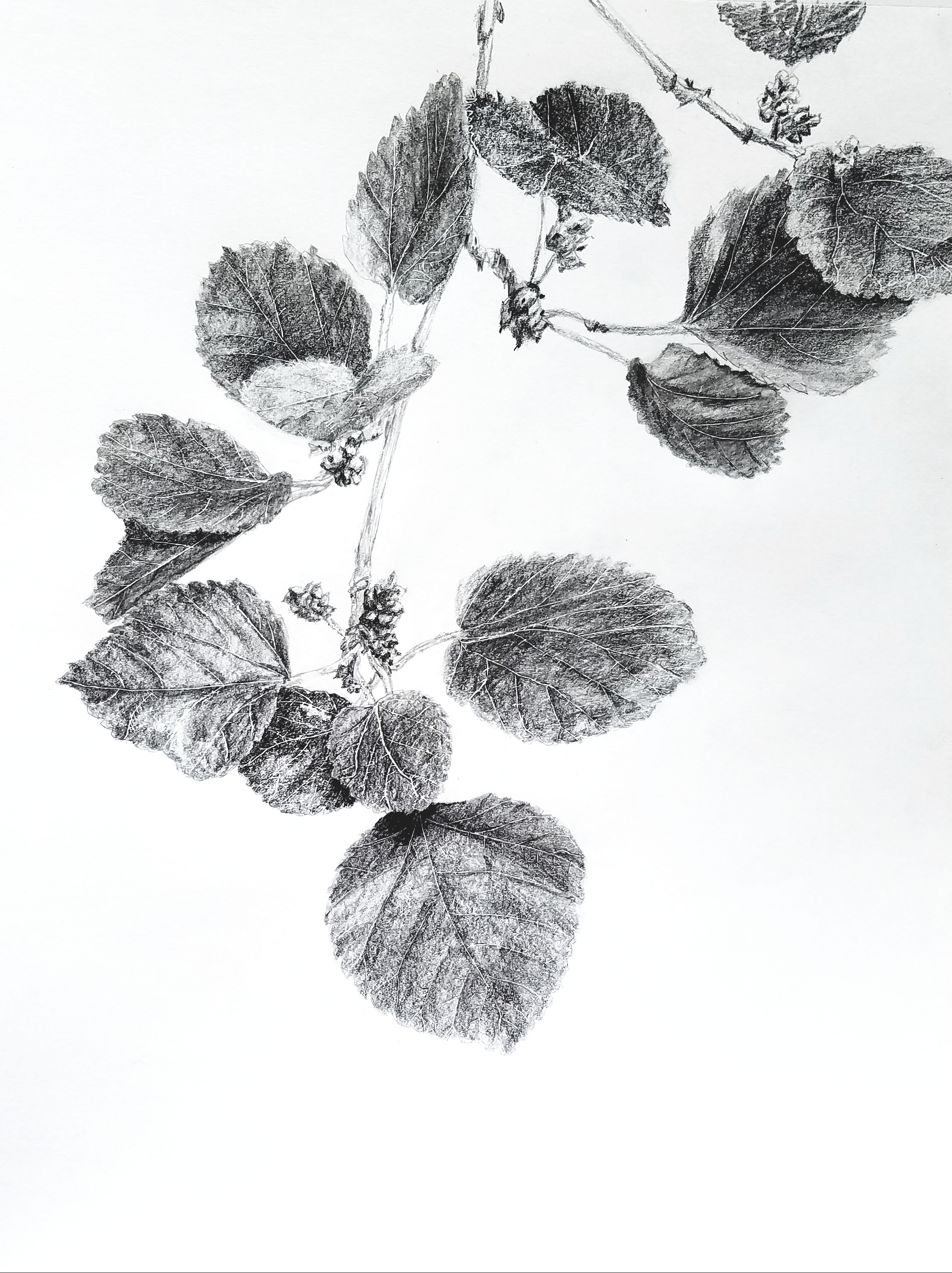 Ripening mulberries; graphite; 2017