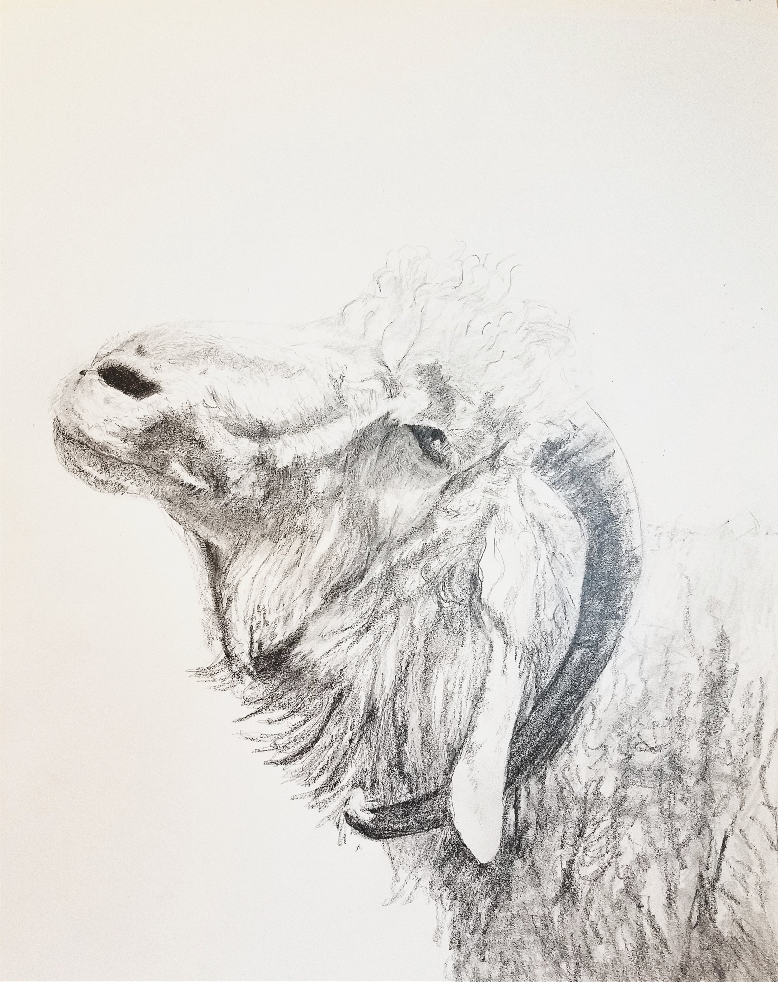Old Angora goat; graphite; 2017
