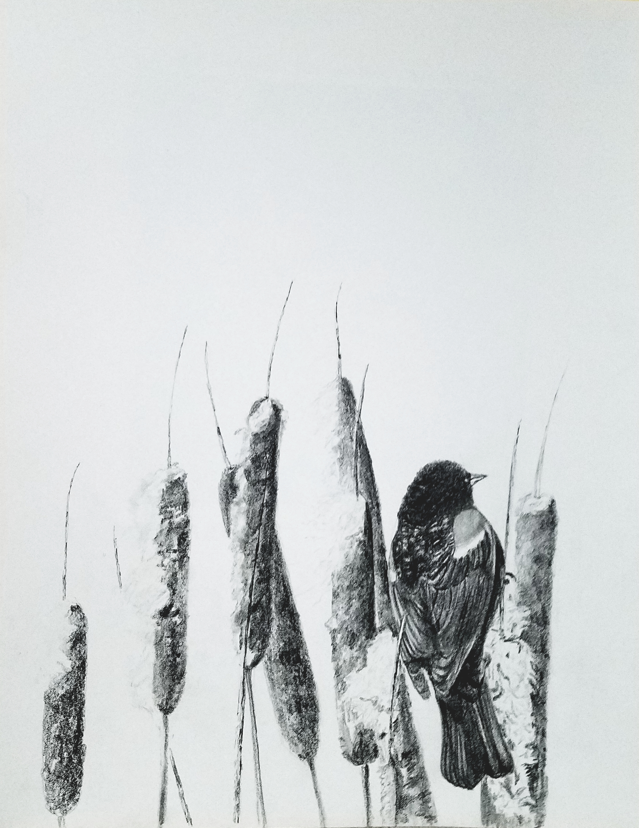 Redwinged Blackbird; graphite; 2017