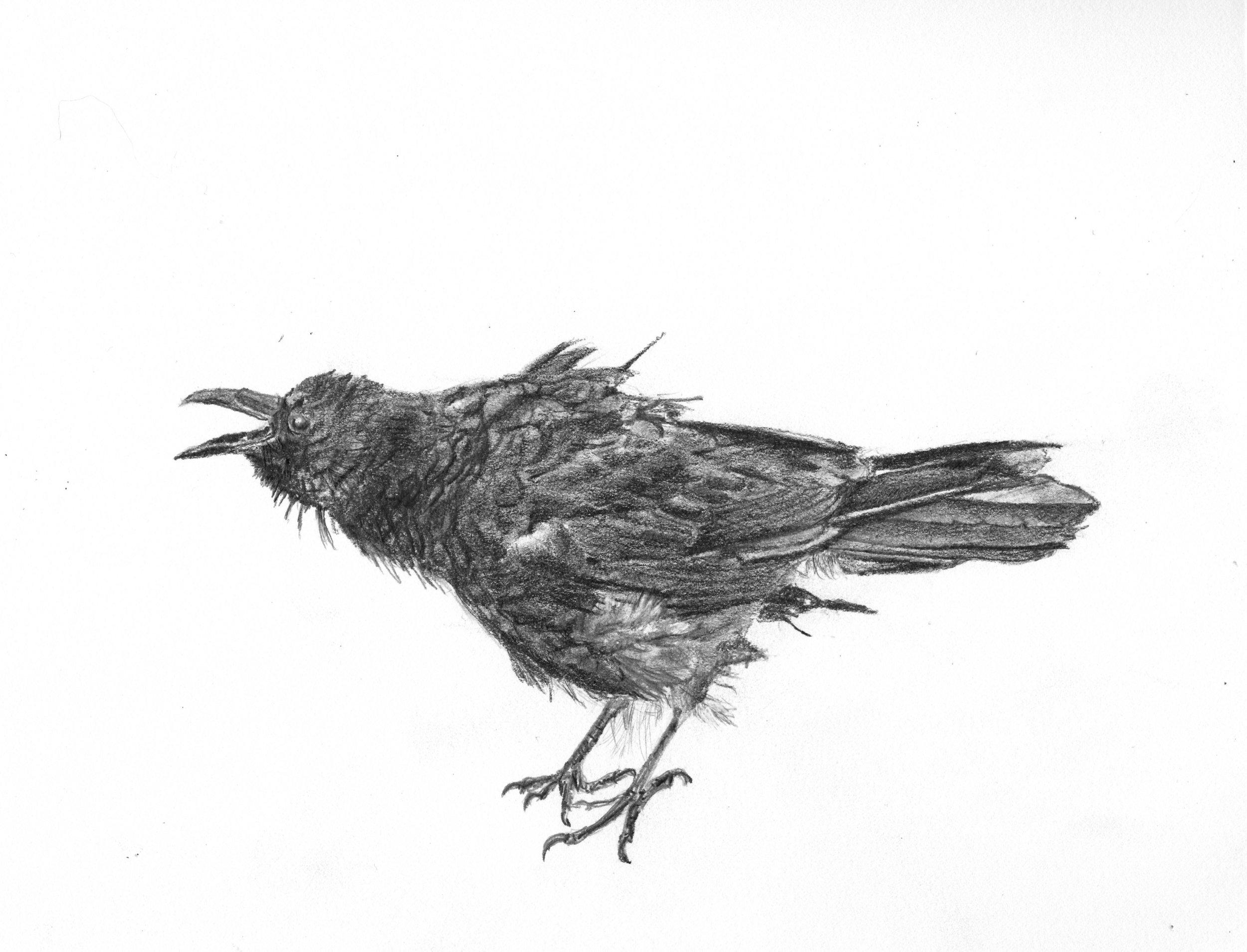Crow; graphite; 2017