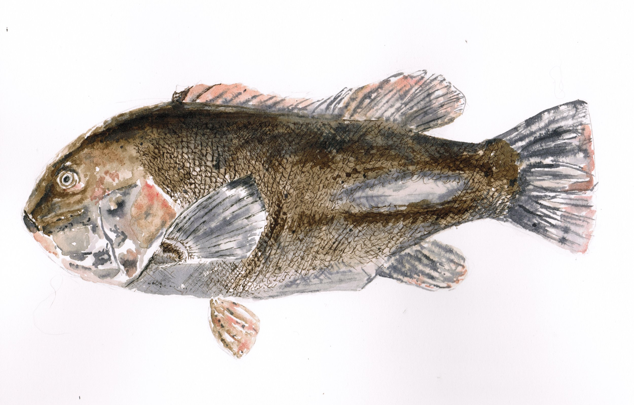 Tautog; black walnut ink; 2017