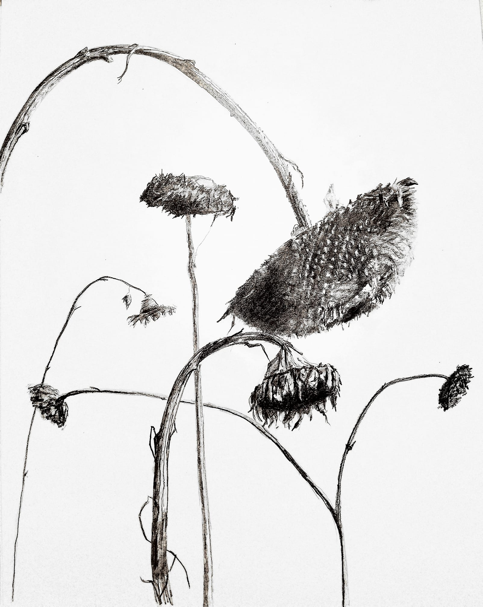 Winter sunflowers; graphite, 11x14; 2018