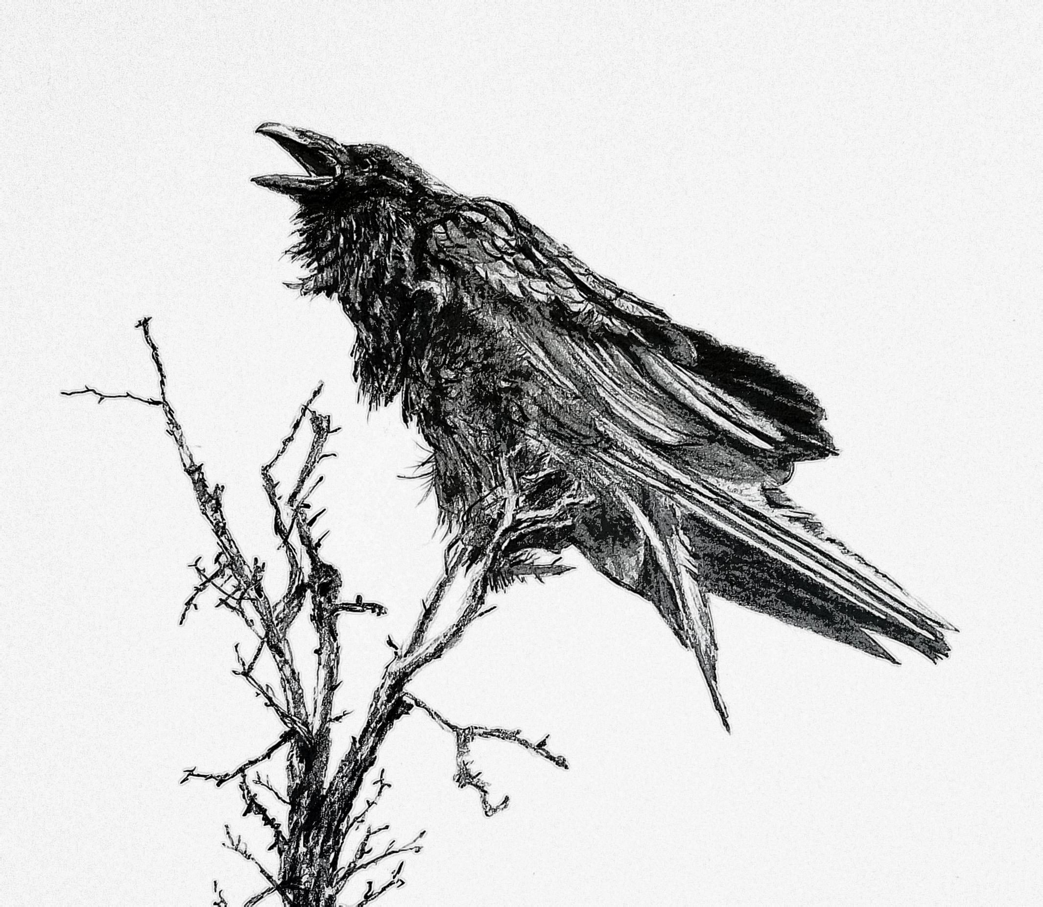 Angry Raven; graphite; 2018