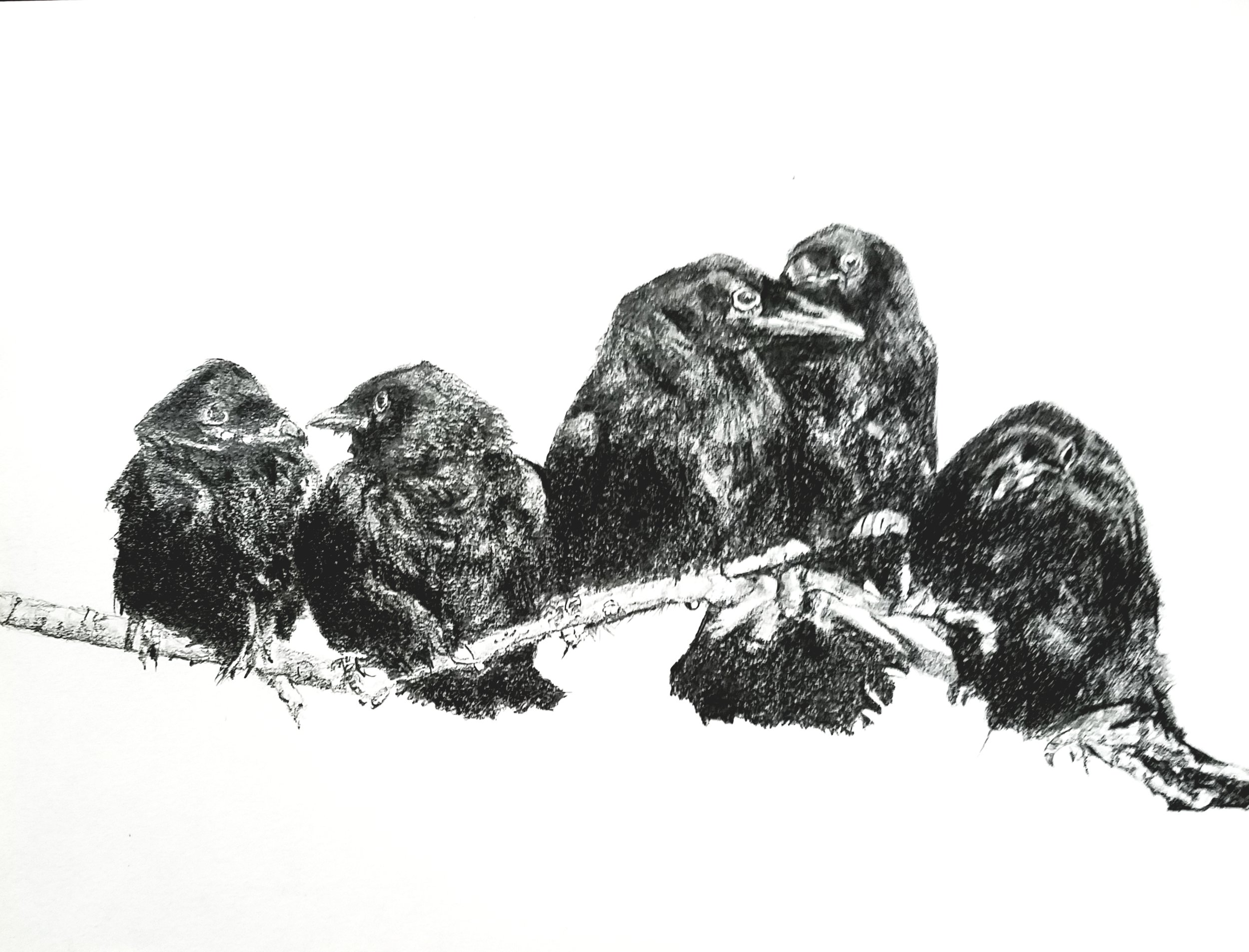 Crows on a branch; graphite; 2018