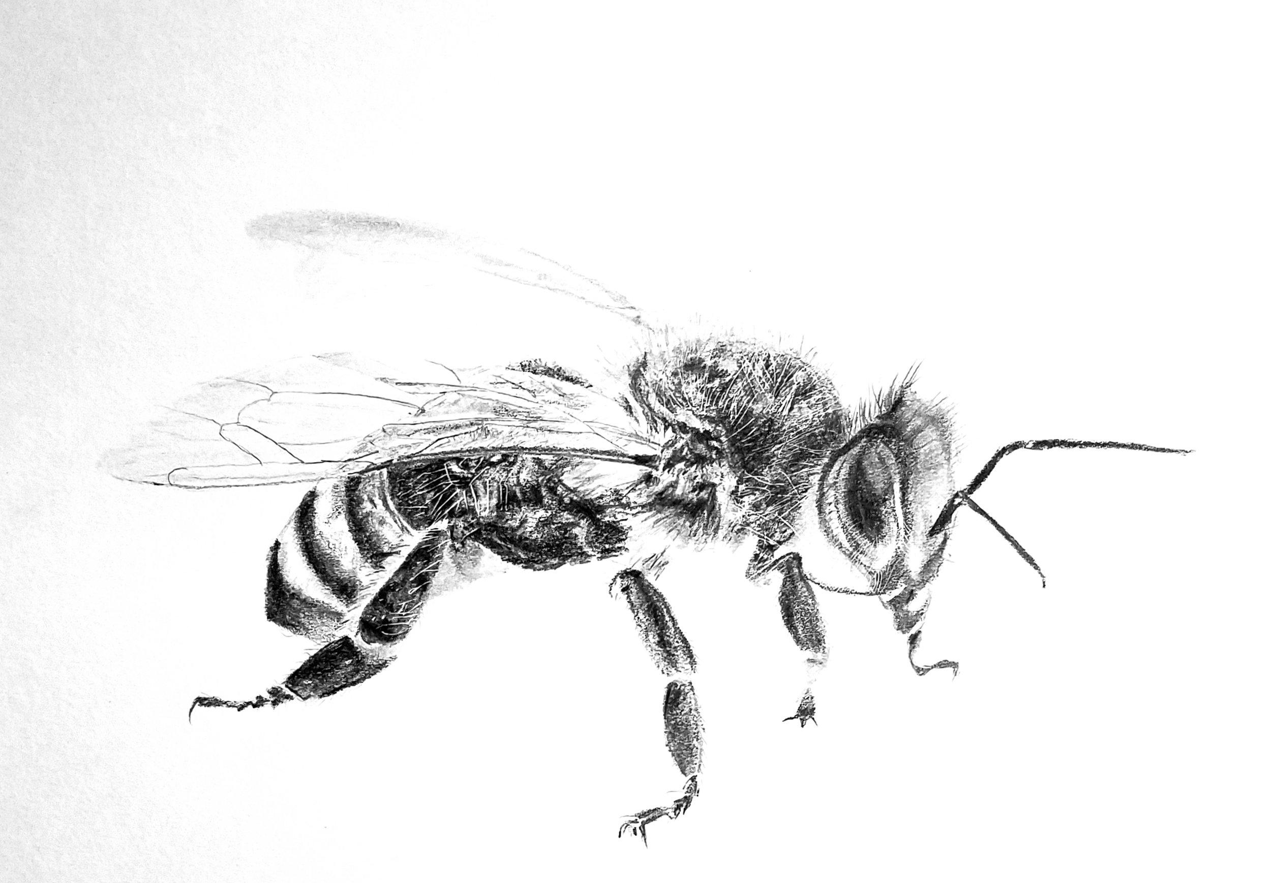 Honeybee; graphite; 2018
