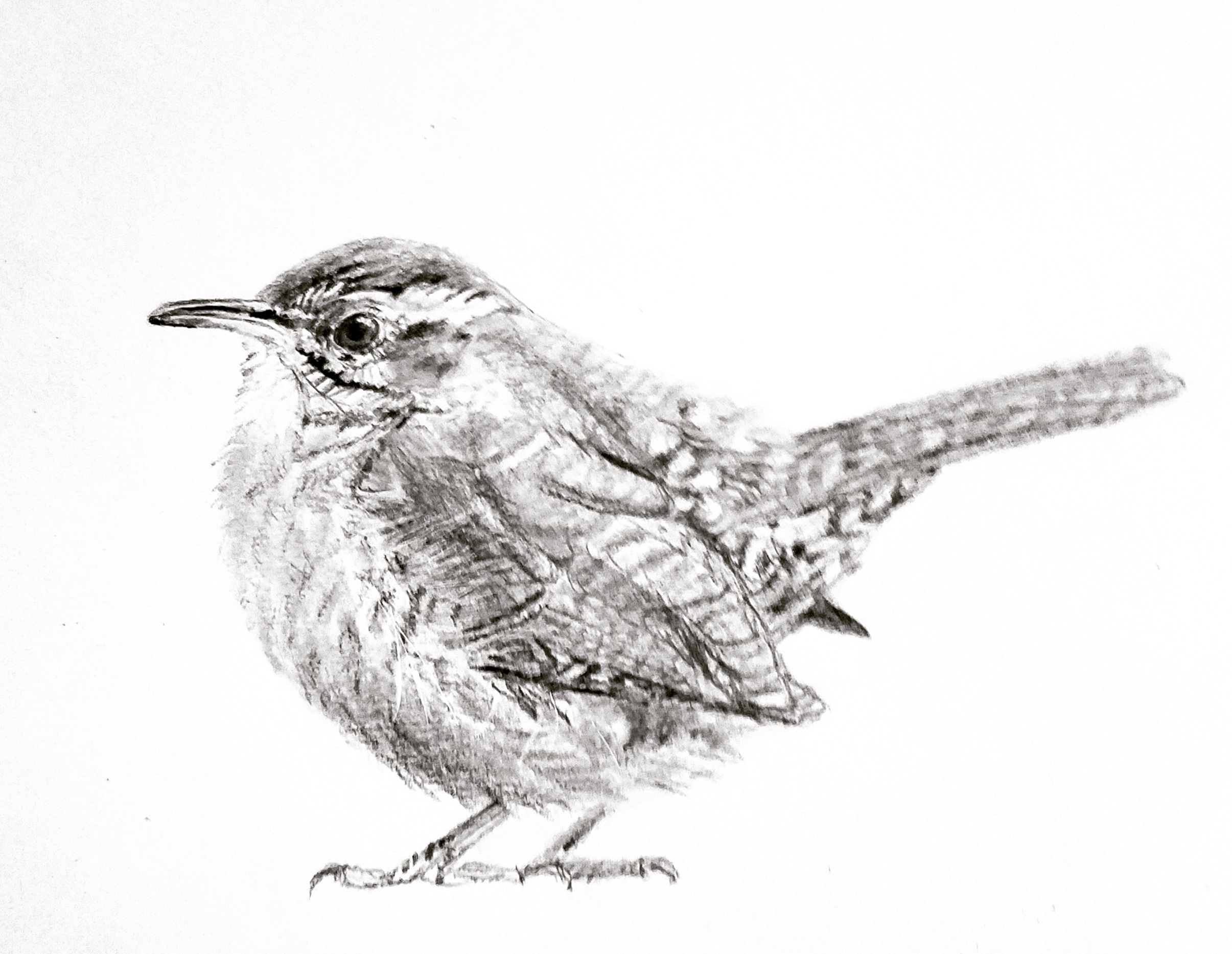 Carolina Wren; graphite; 2018