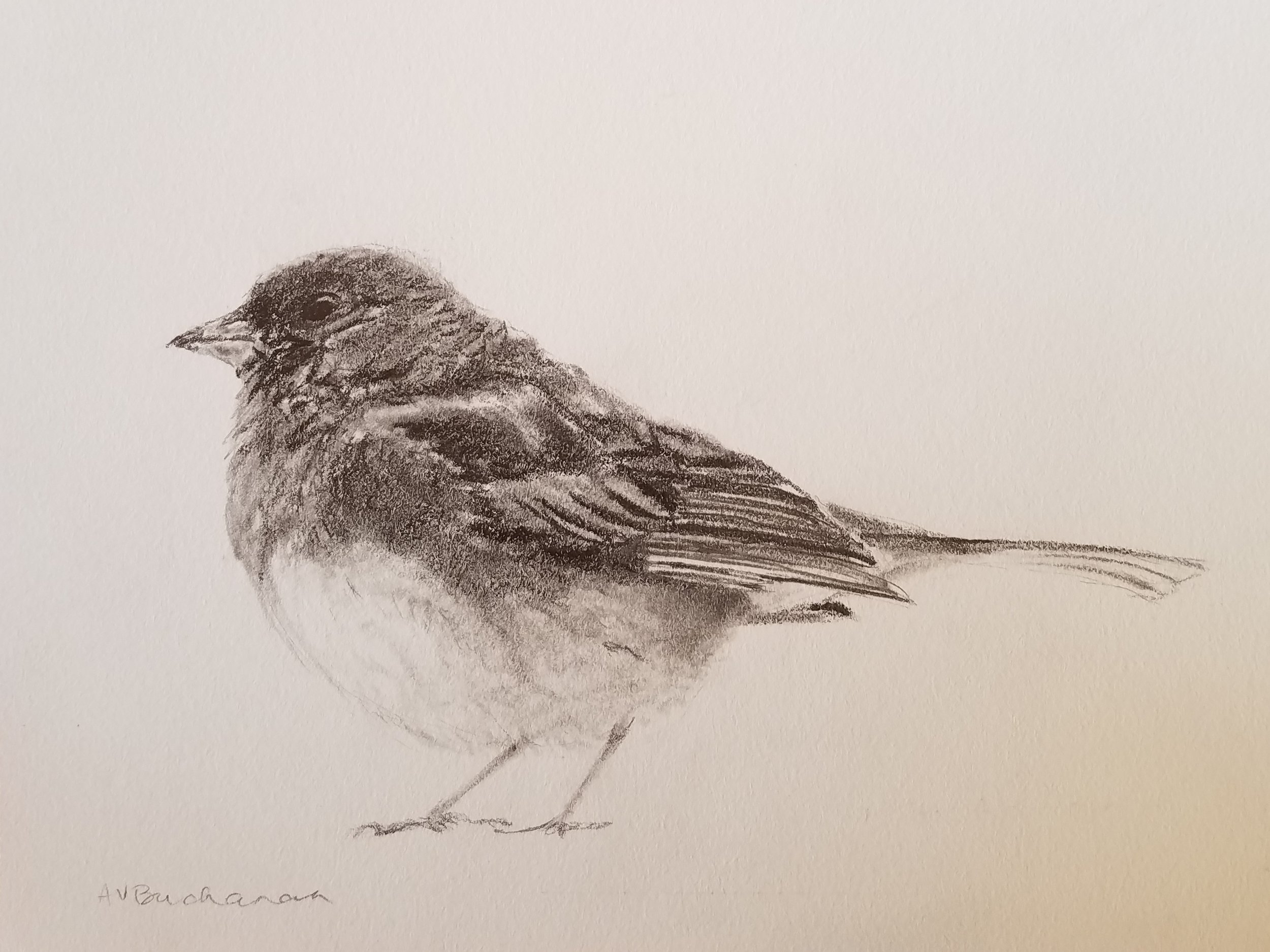 Dark-eyed junco; graphite; 2019