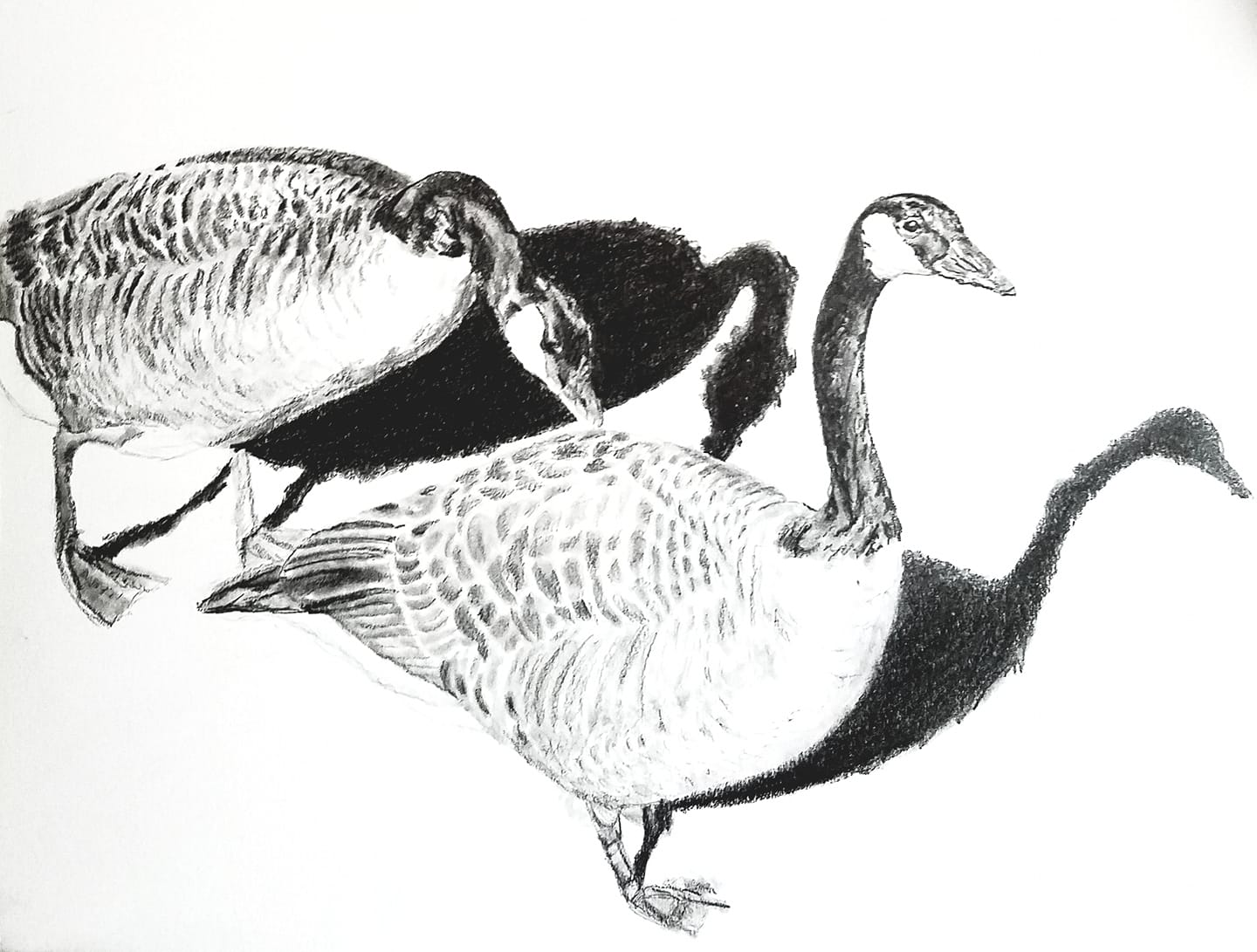 Canada geese; graphite; 2019
