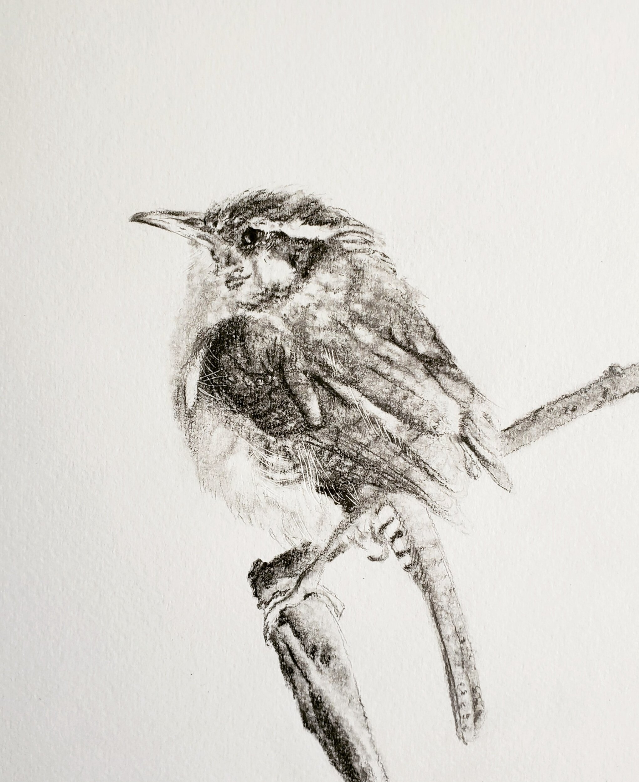 Carolina Wren; graphite; 2019