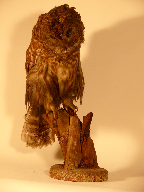 "Stuffed owl peering downward / 18"" height x 6.5"" diameter / old beauty"