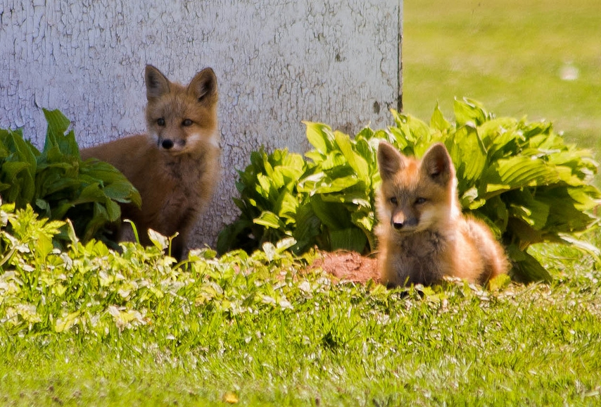 Foxes -