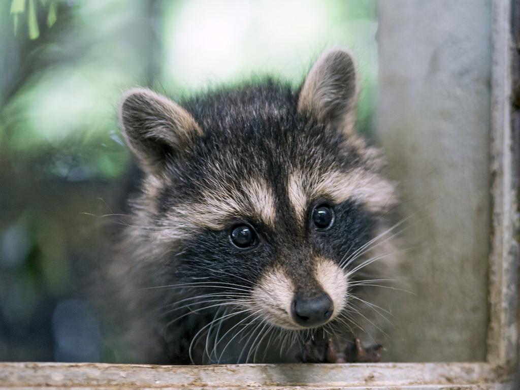 Raccoons -