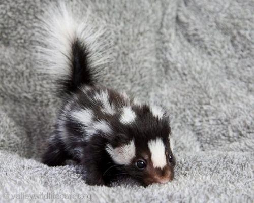 Skunks -