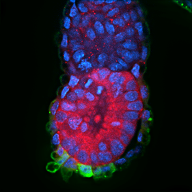 E5.5 mouse Hex-GFP embryo stained for Hex (GFP, green), Phospho-Yap (red) and DAPI (blue).