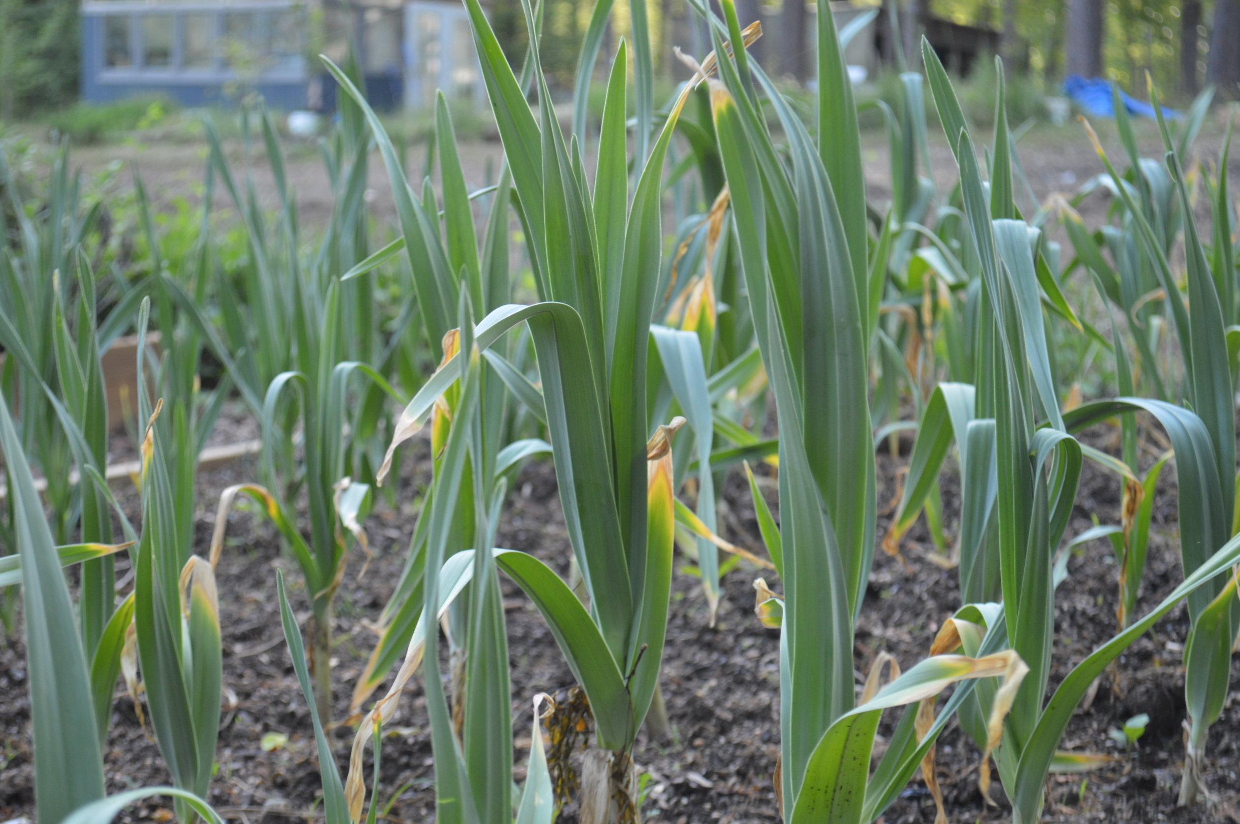 garlic shoots.JPG