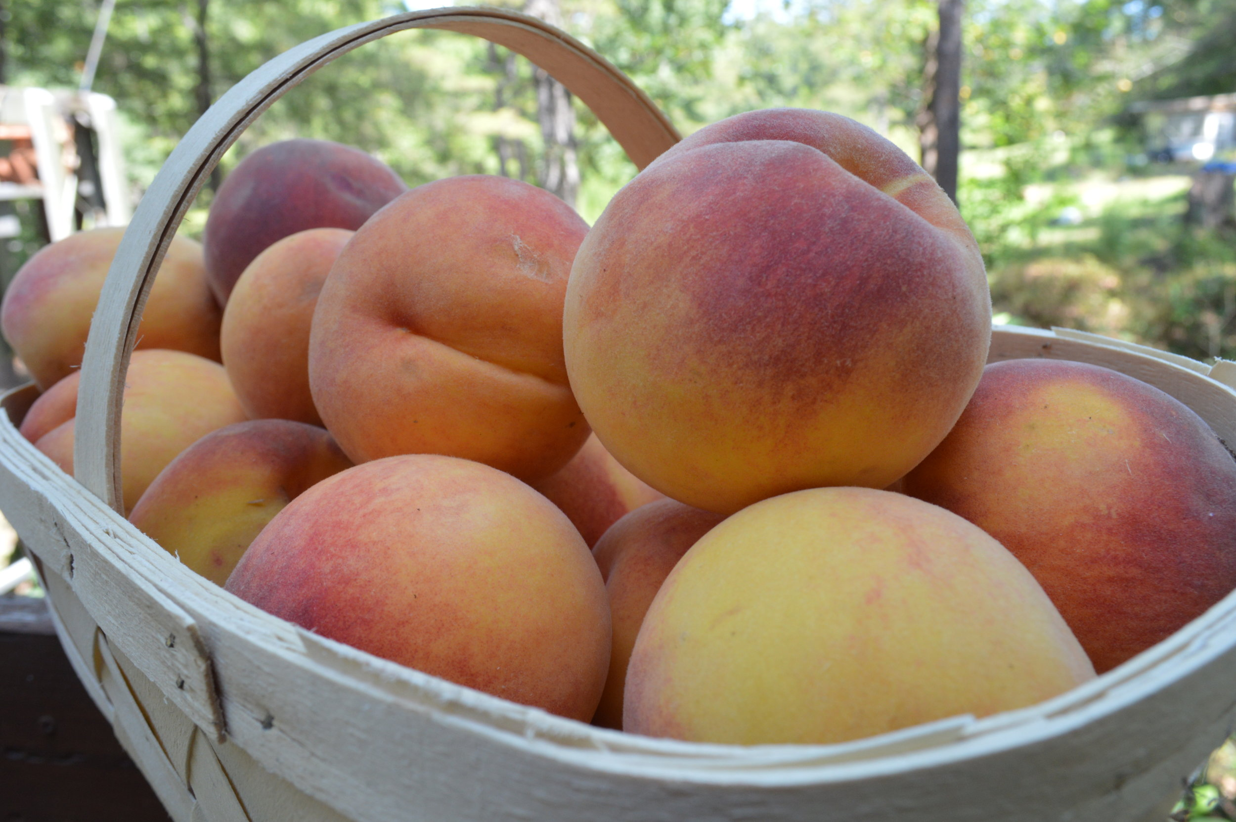 Basket of peaches from Bob and Lisa's produce in Powdersville