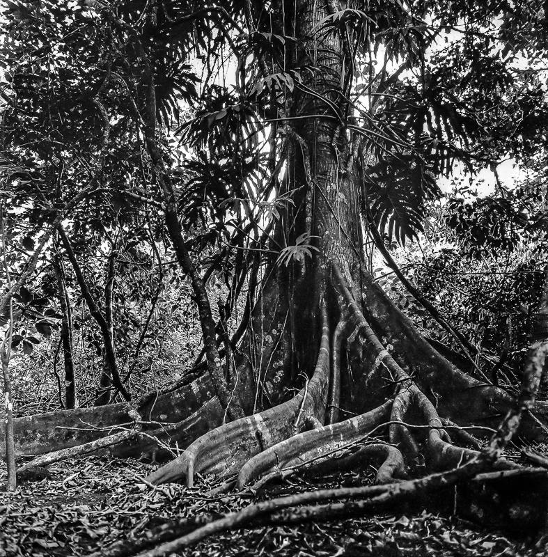 Ceiba Tree, Montepio, Mexico