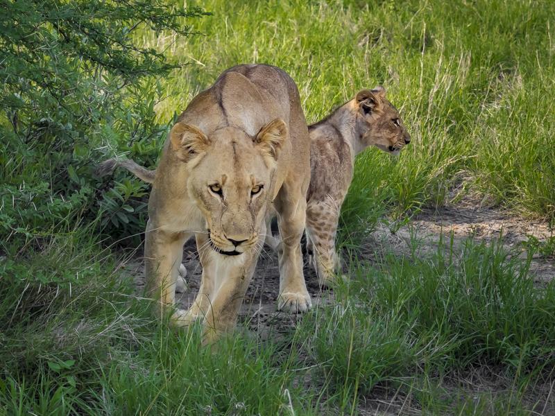 Lion-1860.jpg