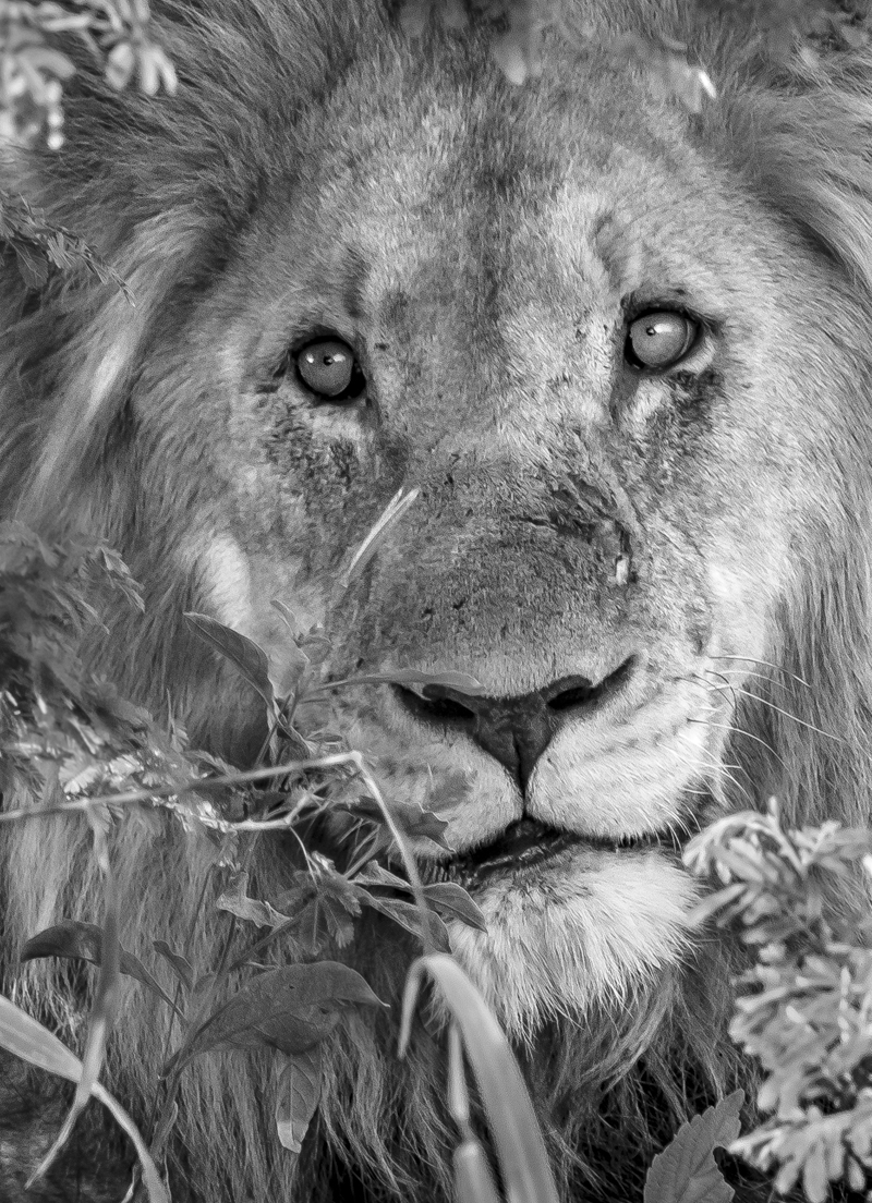Lion-2241.jpg