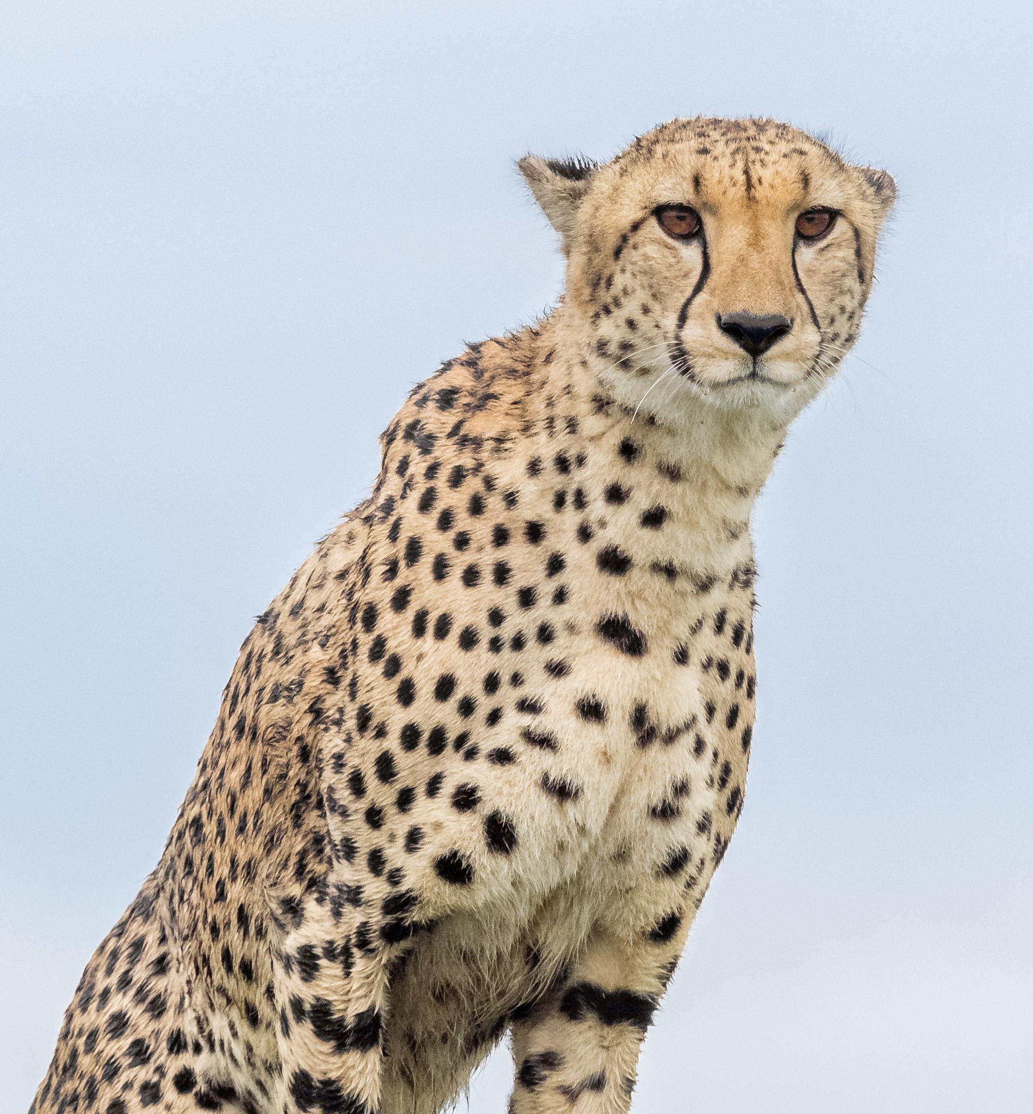 Cheetah in the rain staring back at us.