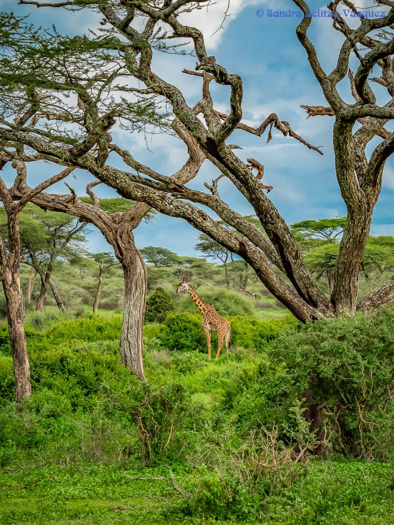 Giraffe-4.jpg