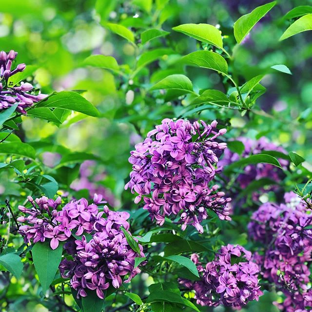 "'Tis the season. 💜🌸 The only problem is choosing just one! 🤩 So I didn't. 😬  Did you know that lilacs only bloom for 1-2 weeks a year? Kinda makes you wonder about humanity's over-emphasis on ""blooming""—always producing, striving, hustling, creating output. Even if we're blooming where we're planted, as the saying goes, it's brief. Stunning, yes. Breathtaking, yes. Colorful, vibrant, full of life, yes please. But also short-lived. Temporary. Fleeting.  Seasons are not only temporary but necessary. Don't focus so much on the fruit that you miss the seasons of watching and waiting, of hunkering down when the landscape is barren and learning to weather the storms. These create the fertile soil in which flowers grow. 💜"