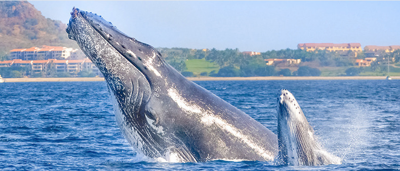 """A mother and baby humpback """"spyhopping"""" in Banderas Bay."""