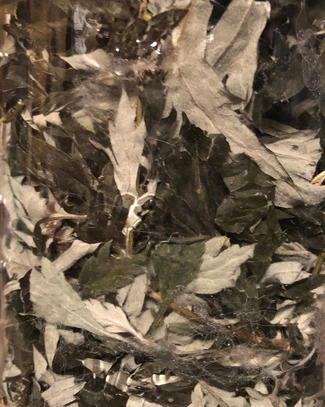 Dried mugwort.